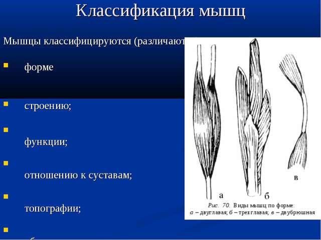 Классификация мышц Мышцы классифицируются (различаются) по: форме строению; ф...