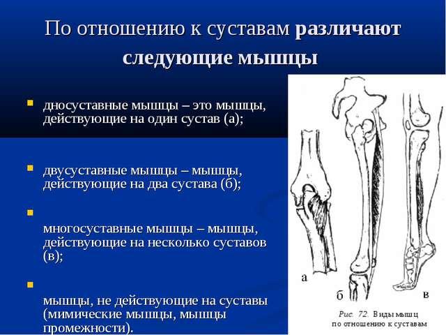 По отношению к суставамразличают следующие мышцы дносуставные мышцы – это мы...