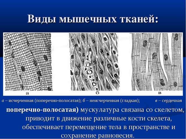 Виды мышечных тканей: а– исчерченная (поперечно-полосатая);б– неисчерченна...