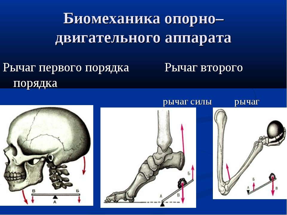 Биомеханика опорно–двигательного аппарата Рычаг первого порядка Рычаг второго...