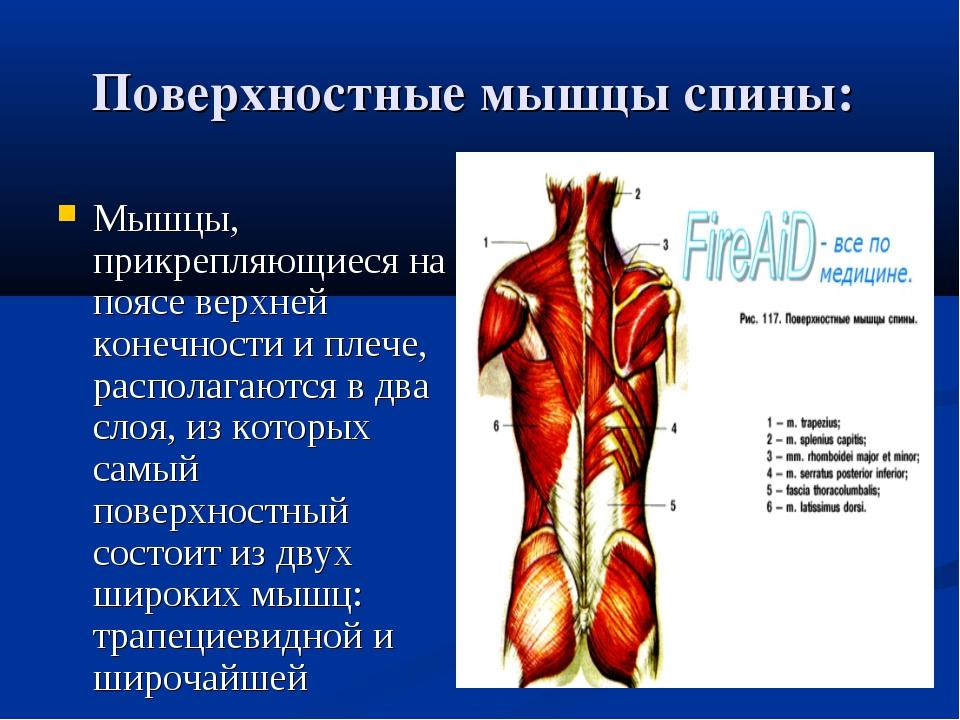 Поверхностные мышцы спины: Мышцы, прикрепляющиеся на поясе верхней конечност...