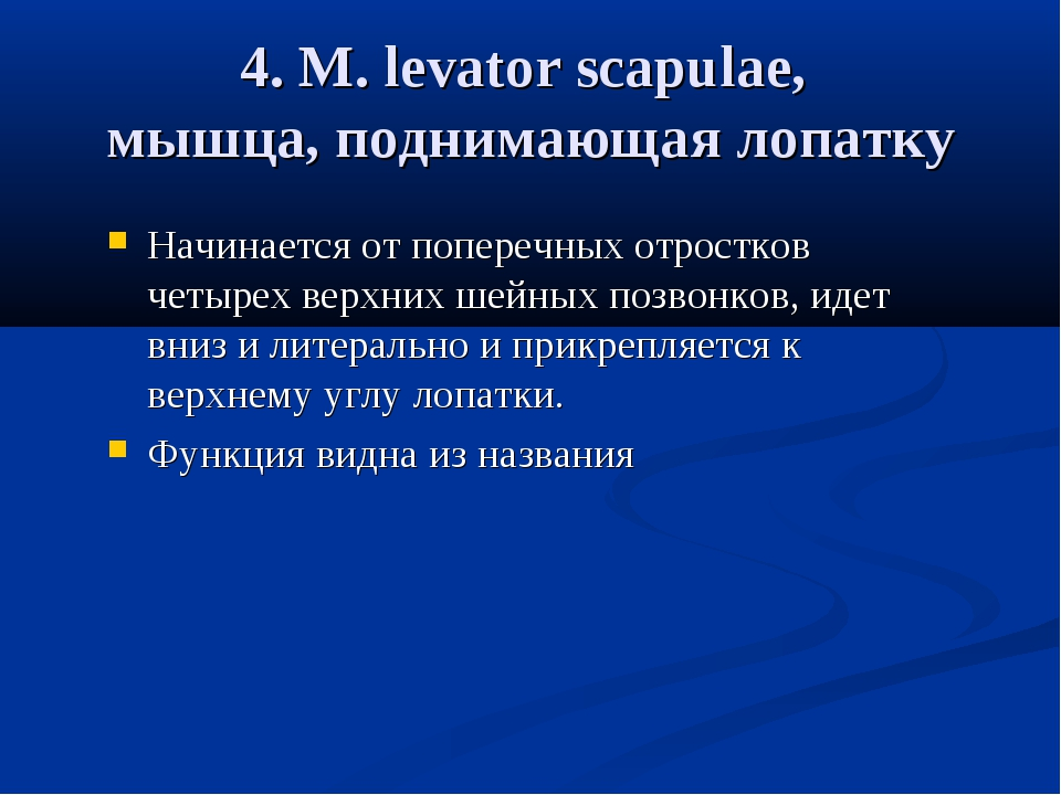 4. М. levator scapulae, мышца, поднимающая лопатку Начинается от поперечных о...