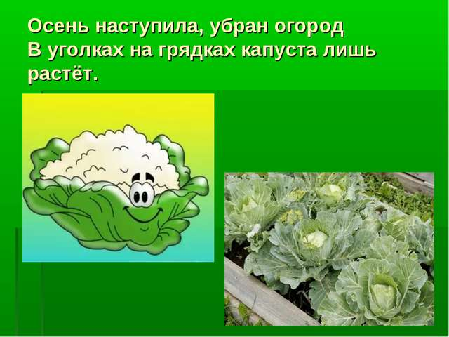Осень наступила, убран огород В уголках на грядках капуста лишь растёт.