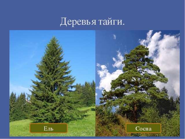 Деревья тайги. Ель Сосна