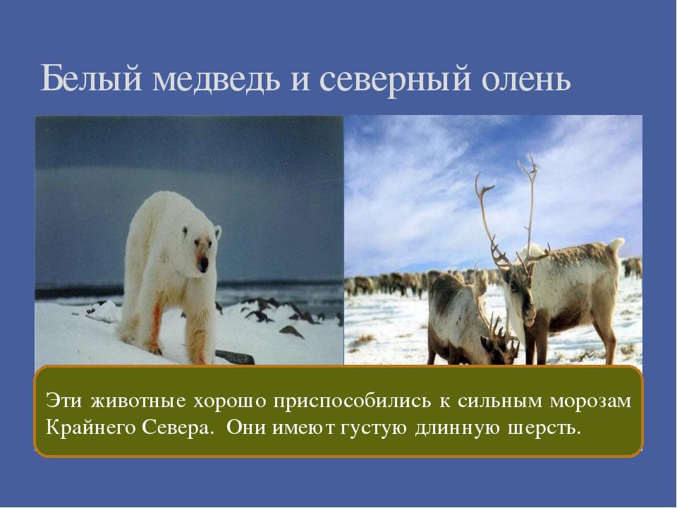 Белый медведь и северный олень Эти животные хорошо приспособились к сильным...