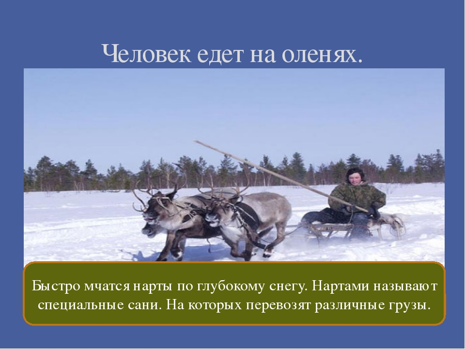 Человек едет на оленях. Быстро мчатся нарты по глубокому снегу. Нартами назы...