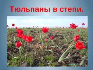 Тюльпаны в степи.