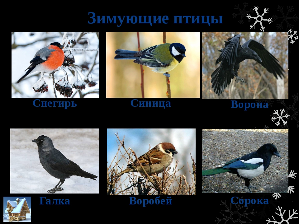 Зимующие птицы Снегирь Синица Воробей Ворона Галка Сорока
