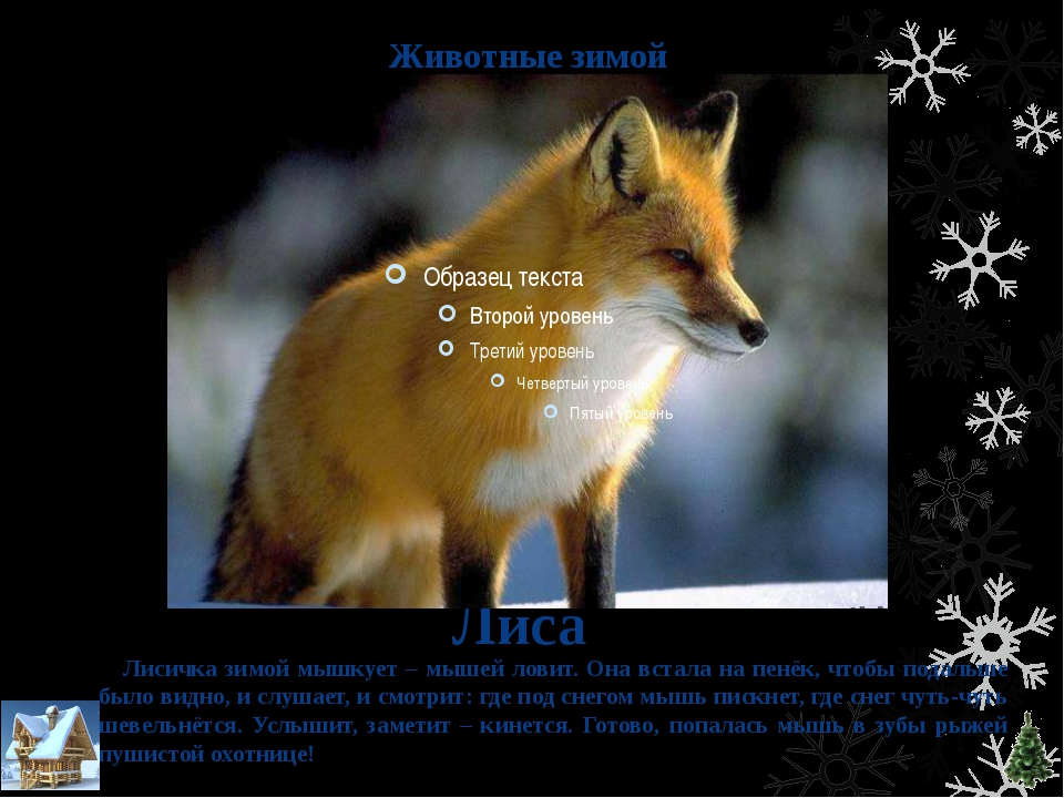 Животные зимой Лиса Лисичка зимой мышкует – мышей ловит. Она встала на пенёк,...