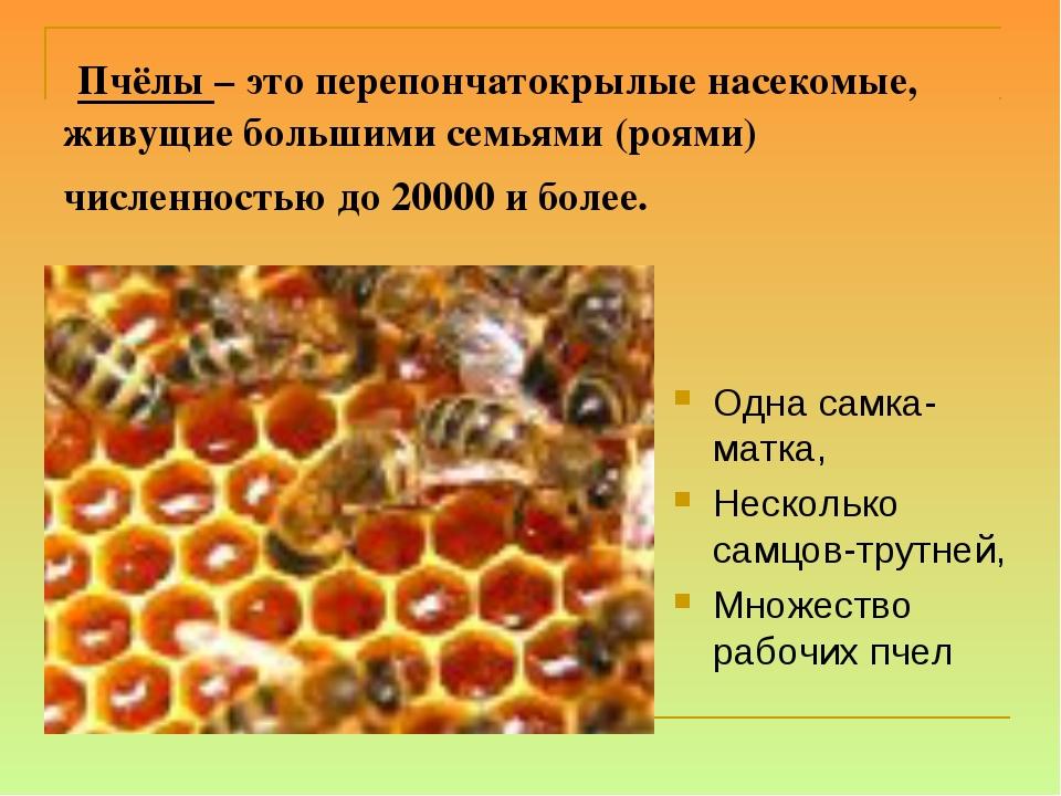 Пчёлы – это перепончатокрылые насекомые, живущие большими семьями (роями) чи...