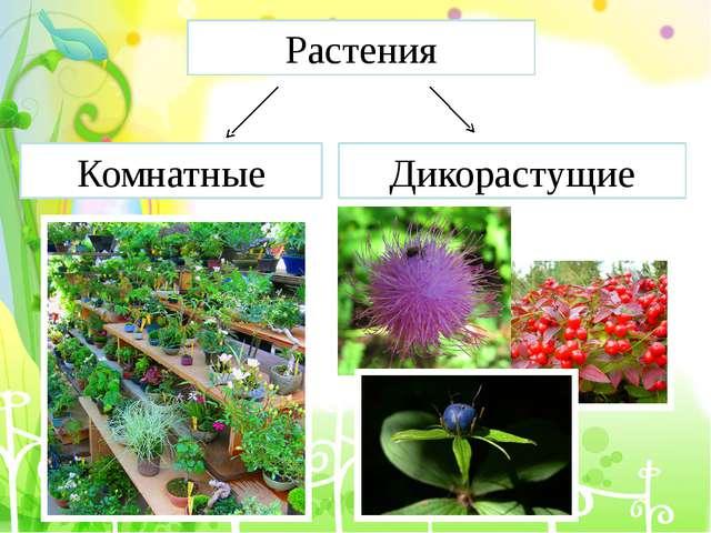 Растения Комнатные Дикорастущие