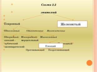Схема 2.2 эпителий   Покровный   Однослойный Одноклеточные Много
