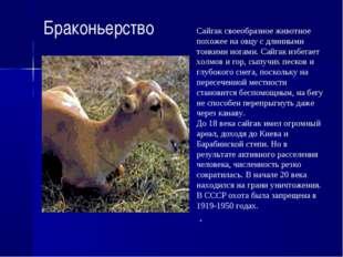 Браконьерство Сайгак своеобразное животное похожее на овцу с длинными тонкими