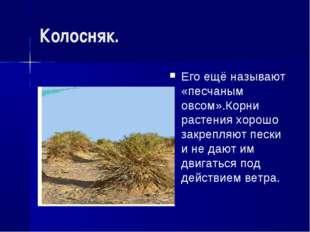 Колосняк. Его ещё называют «песчаным овсом».Корни растения хорошо закрепляют