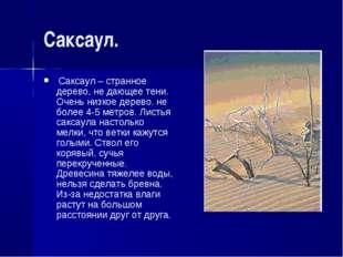 Саксаул. Саксаул – странное дерево, не дающее тени. Очень низкое дерево. не б