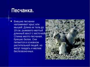Песчанка. Внешне песчанки напоминают крыс или мышей. Длина их тела до 19 см,