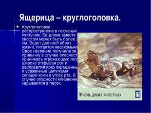 Ящерица – круглоголовка. Круглоголовка распространена в песчаных пустынях. Ее