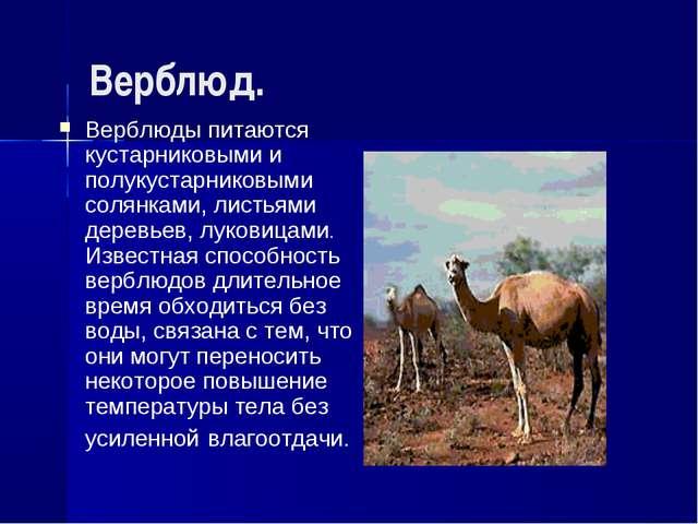 Верблюд. Верблюды питаются кустарниковыми и полукустарниковыми солянками, лис...