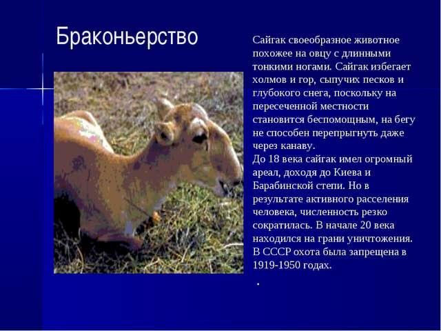 Браконьерство Сайгак своеобразное животное похожее на овцу с длинными тонкими...