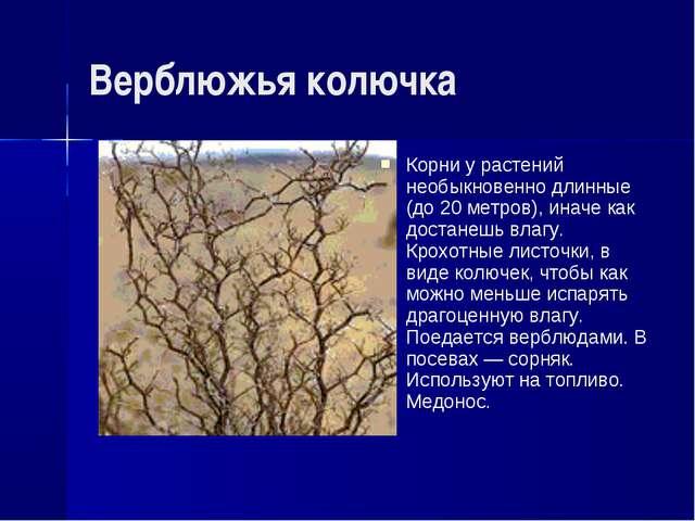 Верблюжья колючка Корни у растений необыкновенно длинные (до 20 метров), инач...