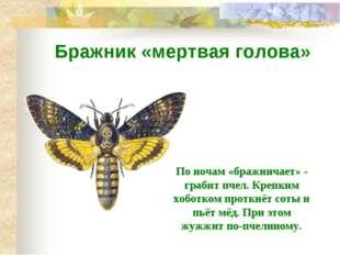 Бражник «мертвая голова» По ночам «бражничает» - грабит пчел. Крепким хоботко