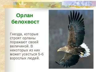 Гнезда, которые строят орланы поражают своей величиной. В некоторых из них мо