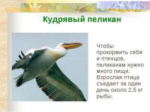 Чтобы прокормить себя и птенцов, пеликанам нужно много пищи. Взрослая птица с