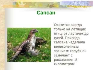 Охотится всегда только на летящих птиц: от ласточек до гусей. Природа сапсана