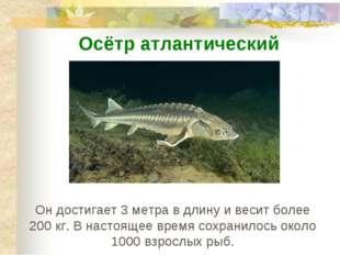 Он достигает 3 метра в длину и весит более 200 кг. В настоящее время сохранил