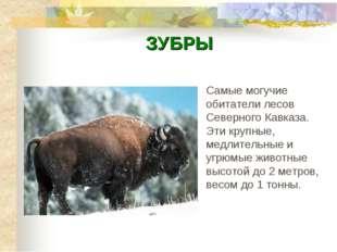 ЗУБРЫ Самые могучие обитатели лесов Северного Кавказа. Эти крупные, медлитель