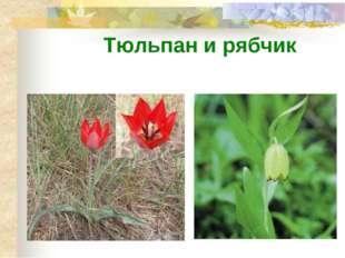 Тюльпан и рябчик