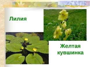Лилия Желтая кувшинка
