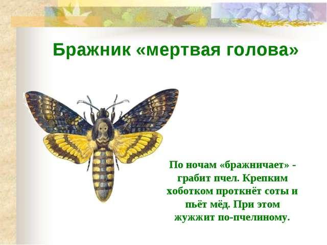 Бражник «мертвая голова» По ночам «бражничает» - грабит пчел. Крепким хоботко...