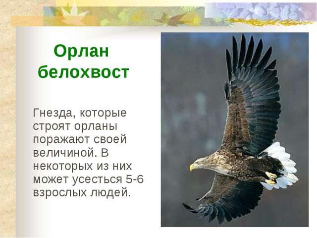 Гнезда, которые строят орланы поражают своей величиной. В некоторых из них мо...