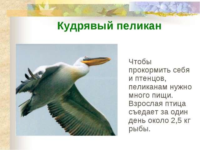 Чтобы прокормить себя и птенцов, пеликанам нужно много пищи. Взрослая птица с...