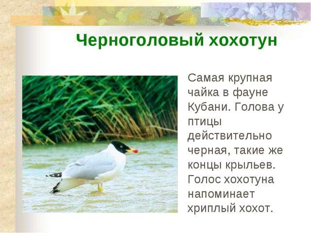 Самая крупная чайка в фауне Кубани. Голова у птицы действительно черная, таки...