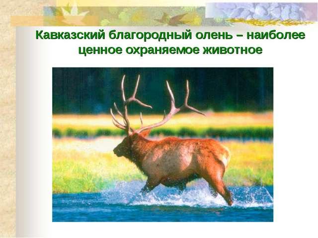 Кавказский благородный олень – наиболее ценное охраняемое животное