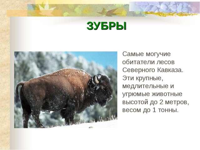 ЗУБРЫ Самые могучие обитатели лесов Северного Кавказа. Эти крупные, медлитель...
