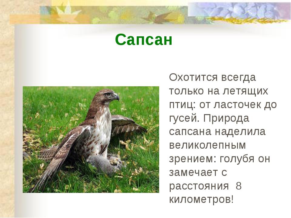 Охотится всегда только на летящих птиц: от ласточек до гусей. Природа сапсана...