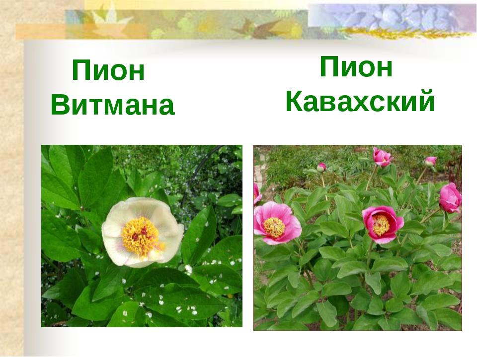 Пион Витмана Пион Кавахский