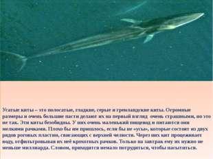 Усатые киты – это полосатые, гладкие, серые и гренландские киты. Огромные ра