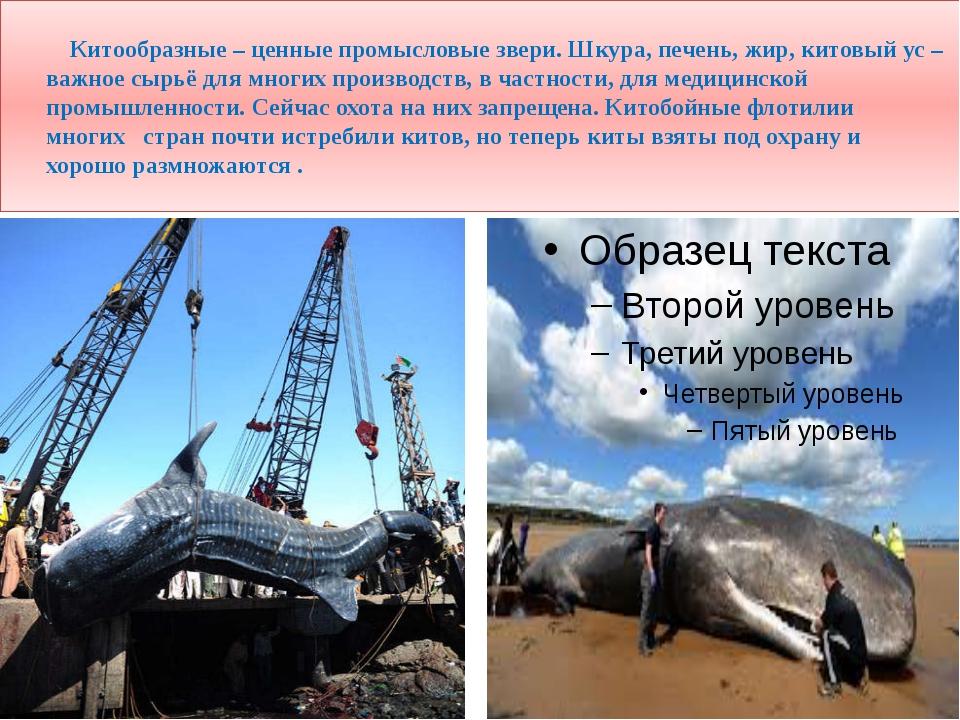 Китообразные – ценные промысловые звери. Шкура, печень, жир, китовый ус – ва...