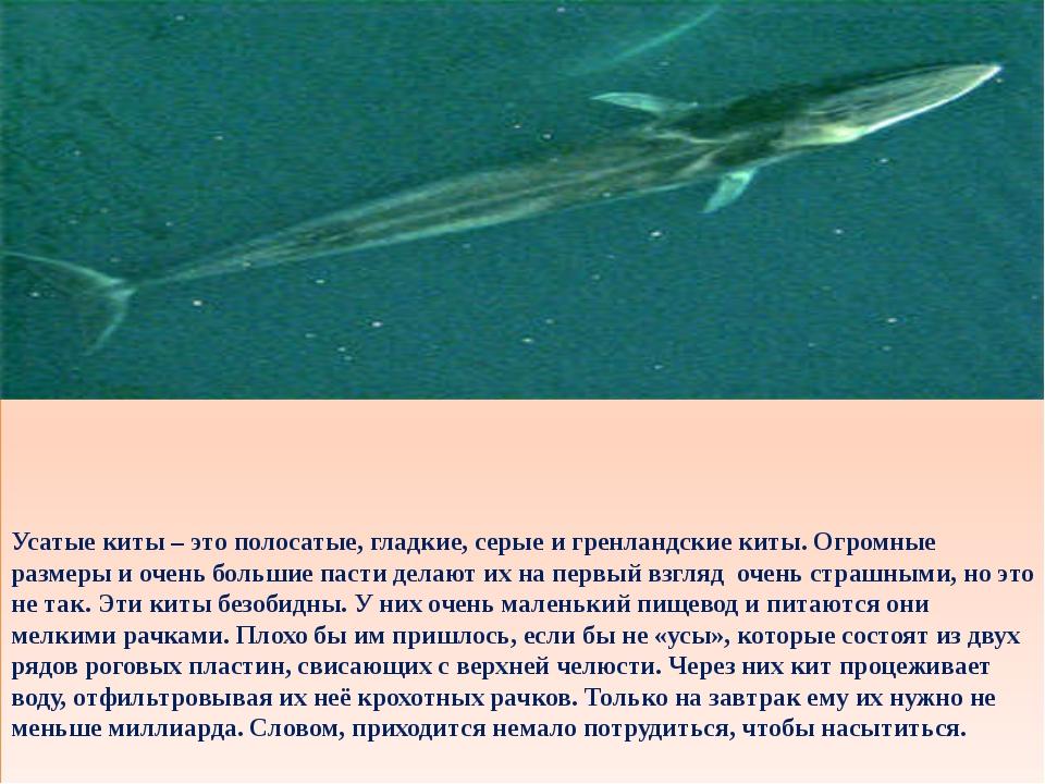 Усатые киты – это полосатые, гладкие, серые и гренландские киты. Огромные ра...