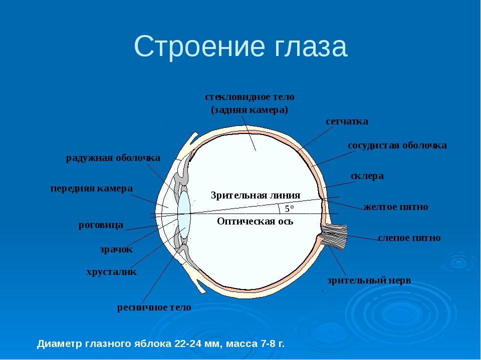 Строение глаза Диаметр глазного яблока 22-24 мм, масса 7-8 г. Оптическая ось...