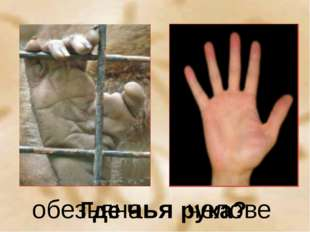 Где чья рука? обезьяна человек