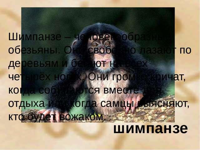 шимпанзе Шимпанзе – человекообразные обезьяны. Они свободно лазают по деревья...