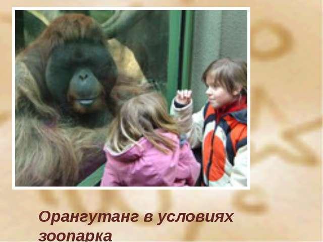Орангутанг в условиях зоопарка