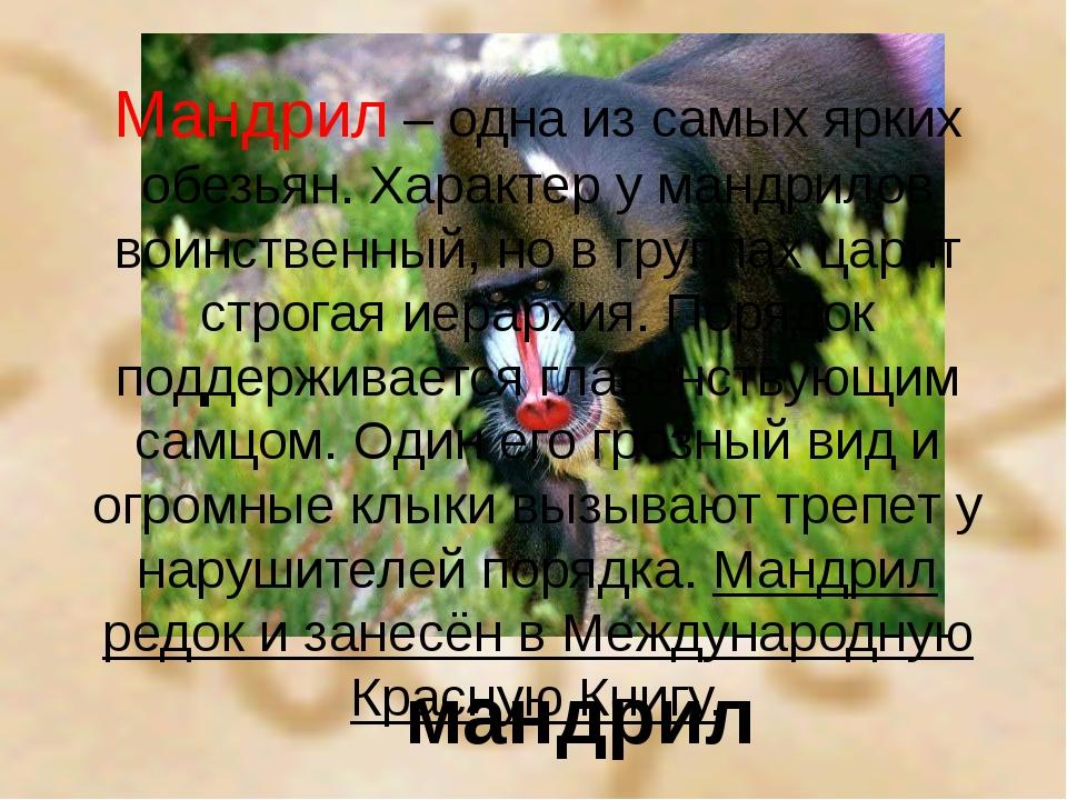 мандрил Мандрил – одна из самых ярких обезьян. Характер у мандрилов воинствен...