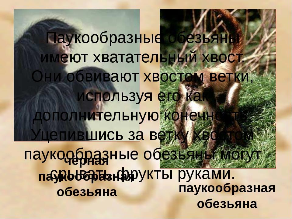 чёрная паукообразная обезьяна паукообразная обезьяна Паукообразные обезьяны и...