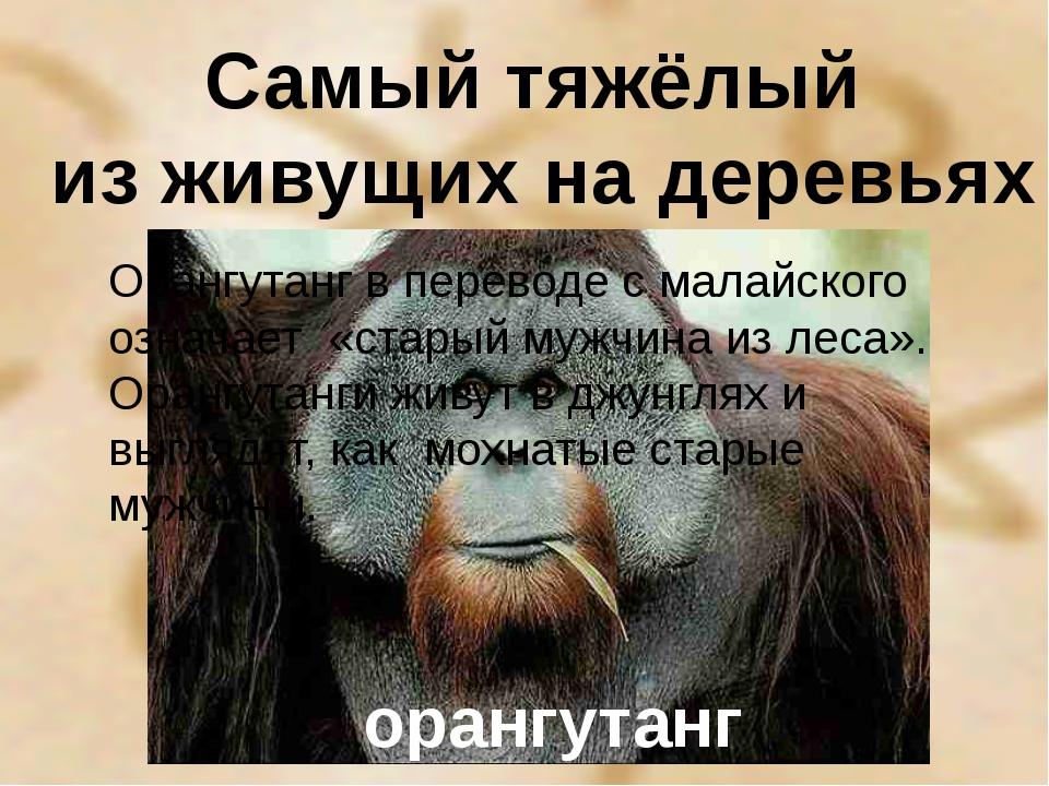 Самый тяжёлый из живущих на деревьях орангутанг Орангутанг в переводе с малай...